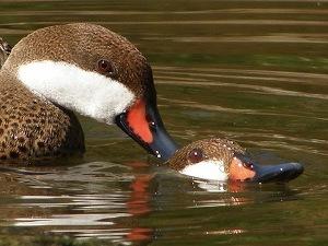argentinian-vampire-ducks.jpg