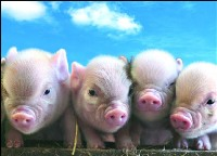 cute-little-pigs.jpg