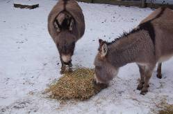 donkey-eating-straw.jpg