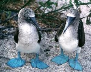 ecuador-galapagos-blue-footed-boobies.jpg