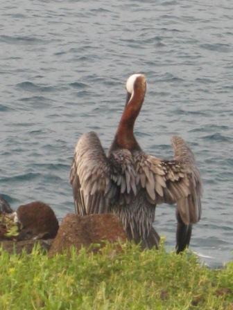 galapagos-heron.JPG