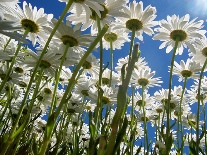 pushing-up-daisies.jpg