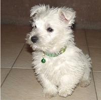 terriers-short-legs.jpg