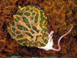 argentinian-hornedfrog.jpg