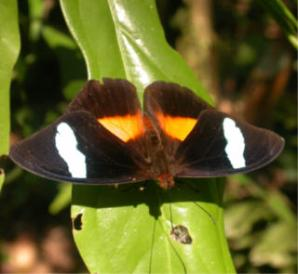 Bolivian-Butterfly.jpg