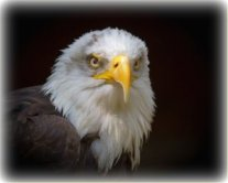 eagle-bird-bald-eagle.jpg