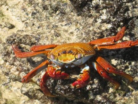 galapagos-crab.JPG