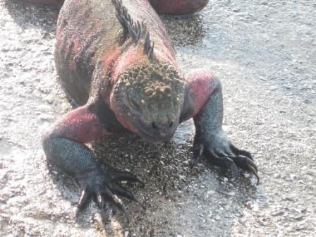 galapagos-sea-iguana-big.JPG