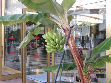 Tenerife-hotel-cleopatra-banana-plant.jpg
